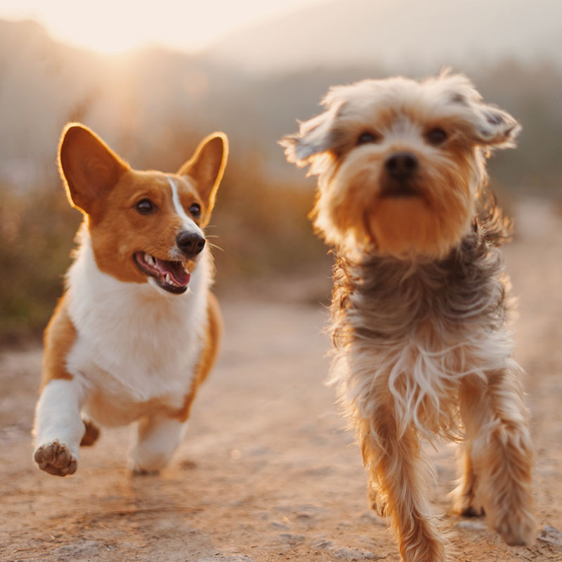 Two dogs happily running along side by side